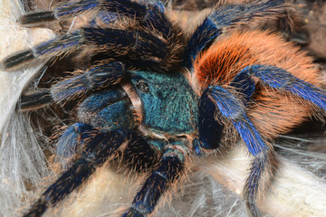 greenbottle tarantula (Chromatopelma cyaneopubescens)