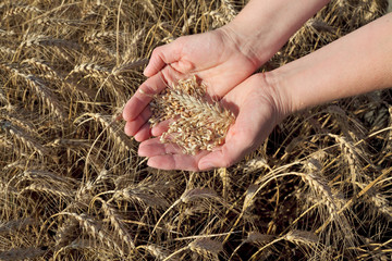 Agricultural concept, wheat in hands and field
