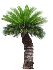 close up Cycad palm tree isolated on white background usefor gar