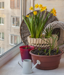 Daffodils and decorative watering can