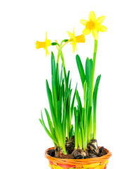 beautiful spring narcissus flowers in pot on white background