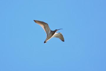 Chiurlo maggiore (Numenius arquata) in volo