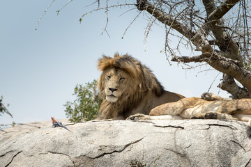 Male lion sitting on a rock sitting sideways and looking straigh