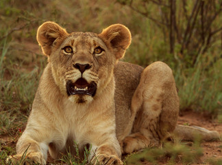 Alert young male lion