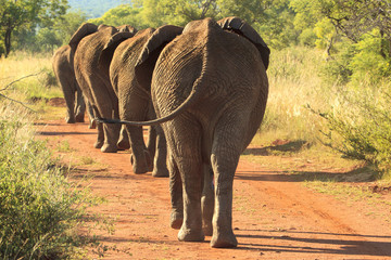 Elephants marching down the road