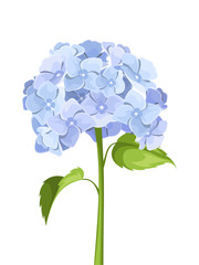 Blue hydrangea flowers. Vector illustration.