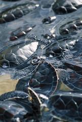 Cayman Islands, turtles in a turtle farm - FILM SCAN