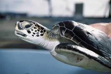 Cayman Islands, sea turtle in a turtle farm - FILM SCAN