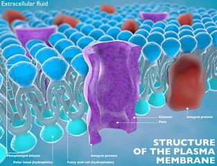 Struttura della membrana plasmatica di una cellula