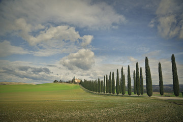 A row of cypress trees