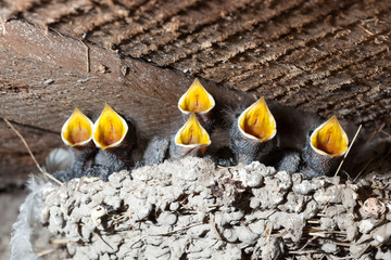 Hirundo rustica. The nest of the Barn Swallow in nature.
