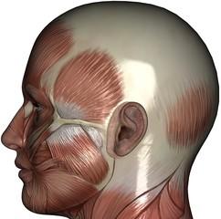 Muscle Head Left