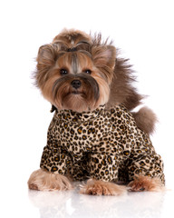 adorable yorkshire terrier dog in a leopard costume