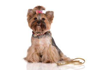 adorable yorkshire terrier dog with a leash