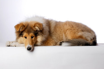 animal, canine, collie, natur,sheepdog, white