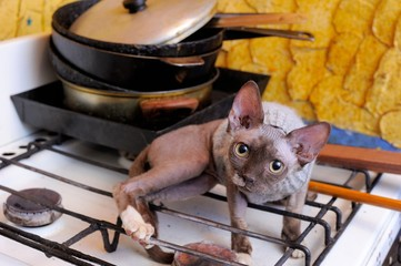 Canadian Sphinx on Gas Stove; Sphinx Canadensis
