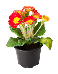 primrose in pot isolated on white background