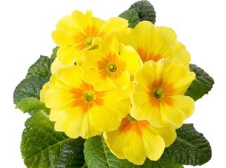 yellow primrose isolated on white background