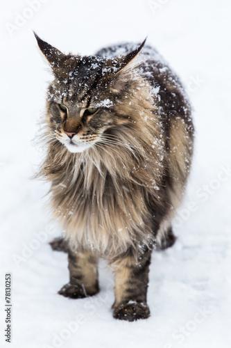Papiers peints Lynx Maine Coon cat in snow