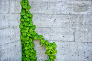 Vine Growing on a Building Wall Background