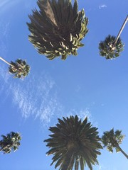 Beautiful palms of Beverly Hills