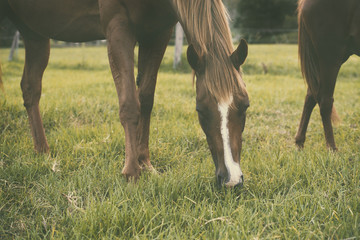Horses grazing in the outback, in Brisbane - Queensland.