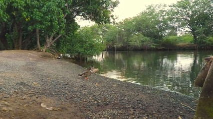 river birds at the park ducks