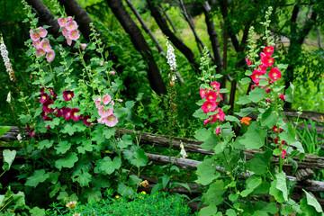 Hollyhock Flowers in a Garden