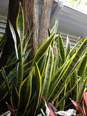 ..Yucca (Y. gloriosa)....