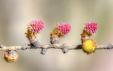 larch in spring
