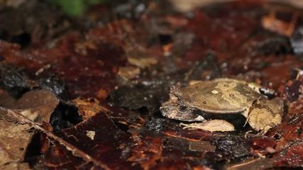 Perez's Snouted Frog (Edalorhina perezi) threatened by snake