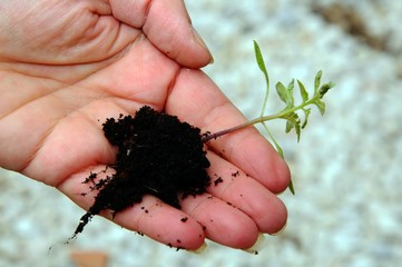Holding a tomato seedling © Arena Photo UK
