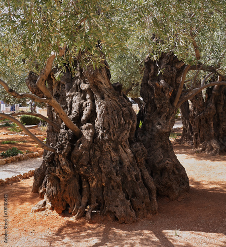 In de dag Olijfboom One olive trees in Gethsemane