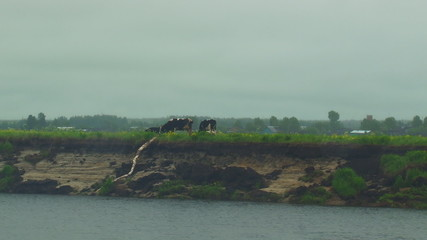 Cows are on the banks of the River