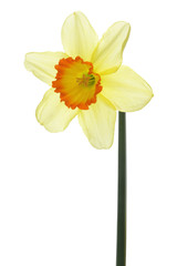Narcissus isolated on white background