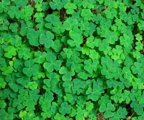 St.Patrick's day holiday symbol.  three-leaved shamrocks.