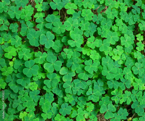 Aluminium Planten St.Patrick's day holiday symbol. three-leaved shamrocks.