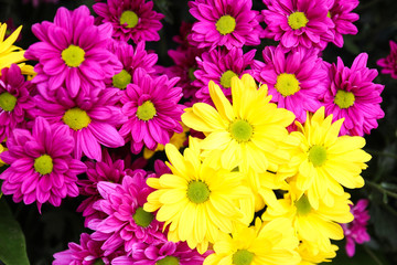 purple and yellow Chrysanthemum flower