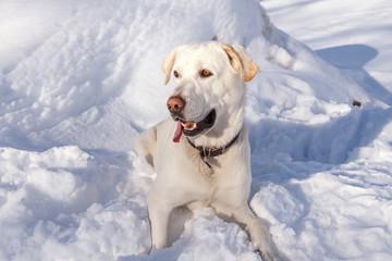 Perro Labrador Retriever sentado en la nieve.