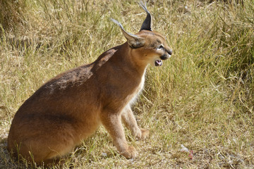 Caracal, Namibia, Africa