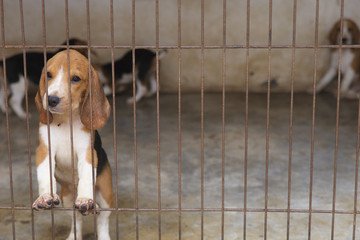 Little Beagle dog in the cage