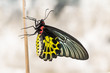 Golden birdwing butterfly - 78153095