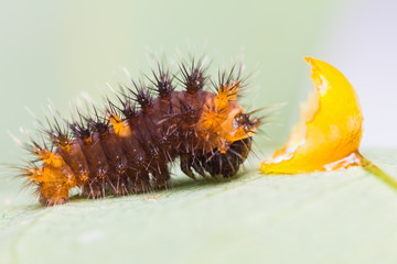 Newly born golden birdwing caterpillar