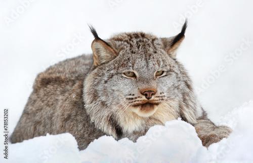 Fotobehang Lynx lynx au repos