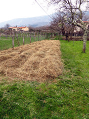 Permaculture garden - potatoes planted in straw