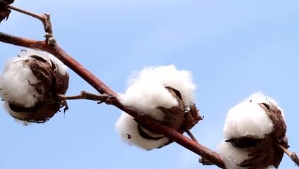 Cotton plant .   ( 1080 HD video )