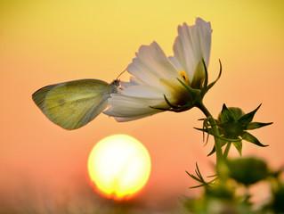 A butterfly rested on a flower under the sunset