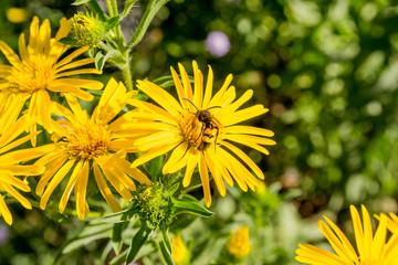 Fleur  de Hélianthus