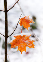 Two Frosted Maple Leaves on a Small Tree