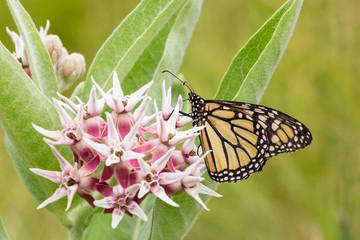 Common Tiger butterfly - Monarch butterfly ( danaus plexippus) i